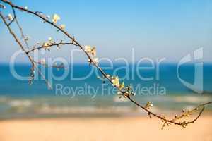 Baltic sea, pear blossom on a beach promenade
