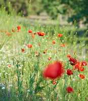 blooming red poppy in a field on a spring afternoon