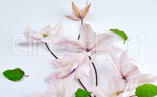 white flowers and green leaves of clematis on a white background