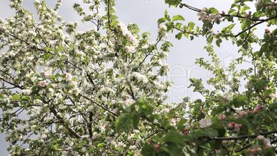 Apple Flower at Spring