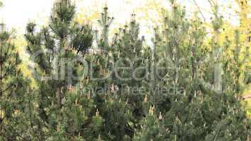 fir tree at day