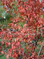 red oak leafs at autumn