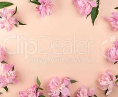 blooming pink peony buds on a peach background