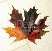 maple leaf on tablecloth