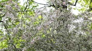 cherry-tree flower