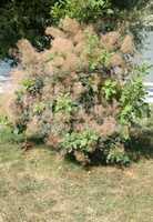 fluffy tree at dry sunny day