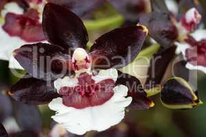Orchid Colmanara Tropic black pearl