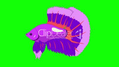 Big Purple Aquarium cockerel fish Chroma Key looped