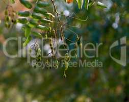 branches with green leaves of the Sophora Japanese