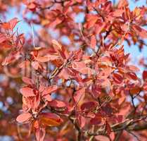 yellow and red leaves of Cotinus coggygria