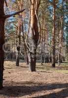 Burnt pine trunks in the forest, summer day, Ukraine