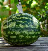 green round watermelon on a wooden table on a summer day
