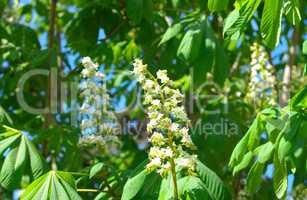 chestnut at spring