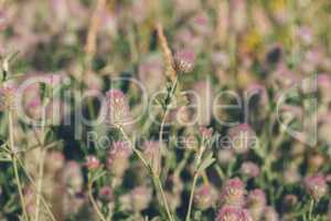 Meadow of Hare's-foot Clover.