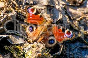peacock butterfly in a closeup