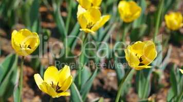 yellow tulip at spring