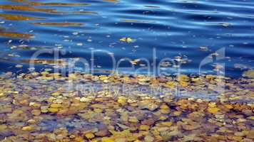 Yellow Birch Leafs on Water