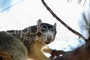 Alert big cypress fox squirrel Sciurus niger avicennia