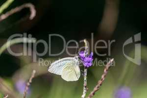 Great Southern White butterfly Ascia monuste perches on a flower