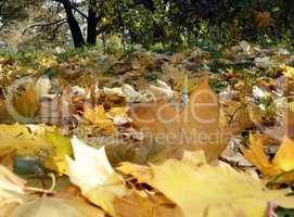 yellow maple carpet