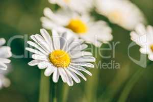 Meadow Daisy Flower at Sunny Day.