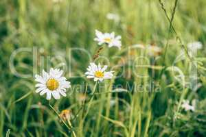 Daisy Flowers on Lawn.