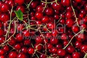 Background of Ripe Red Currant.