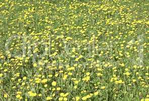 dandelion at spring