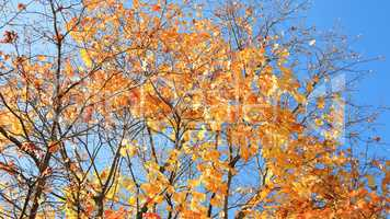 yellow leafs on tree