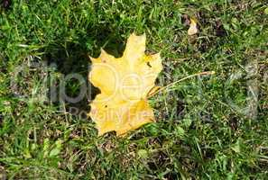 yellow maple leafs on earth