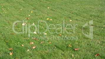 Yellow Maple Leafs on Grass