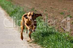 Vizslar hunting dog running