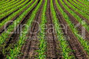 rows of young corn in the sun