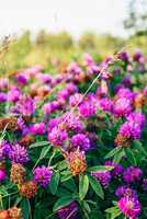 Meadow of Clover Flowers.
