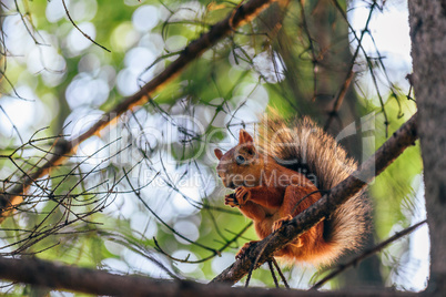 Squirrel eats nuts and sits on branch.