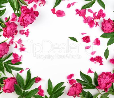 red blooming peonies with green leaves