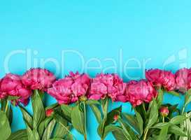 bouquet of red peonies with green leaves on a blue background