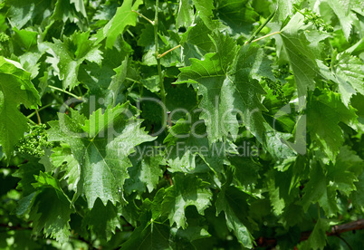 young grapes with green stems and leaves