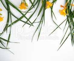yellow flowers Daylily on a white background