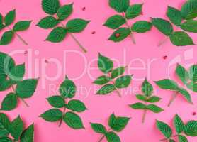 fresh green leaves of raspberry on a pink background