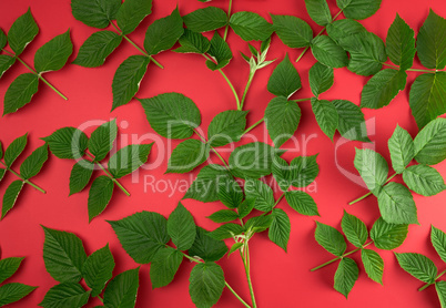 fresh green leaves of raspberry on a red background