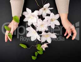 bouquet of white flowers of clematis and two female hands