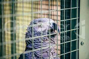 Grey parrot in a cage.