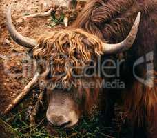 Young yak with small horns.