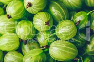Background of Ripe and Fresh Gooseberry.