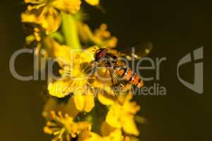 marmalade hoverfly on common agrimony flower