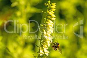 buff-tailed bumblebee on yellow foxglove