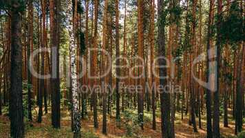 Single birch between pine trees.
