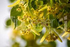lime-tree blossom in summer