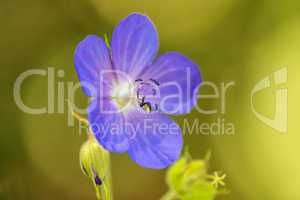 meadow cranessbill with flower in summer